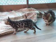 Bengalen Kitten noch 1 Mädchen