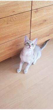 Singapura-Burma Katze
