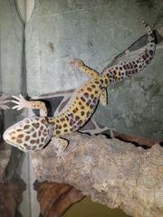 leopardgecko high yellow 0 1