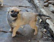 VDH-Hobbyhundezucht hat zur Zeit Welpen