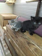 12 wochen Alte Katzen Kitten