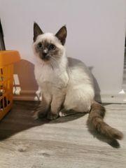 Birma mix kitten dürfen ausziehen