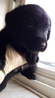 Labradorwelpen kräftig in schwarz