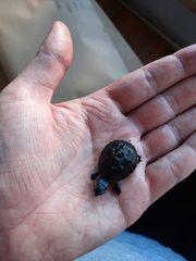 Moschussschildkröte - Sternotherus Odoratus