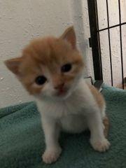 4 süße BKH-Mix-Katzenkinder suchen Ihre