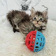 Coonie Kitten suchen ein liebevolles