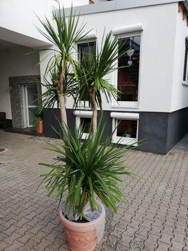 Palme: Kleinanzeigen aus Kronau - Rubrik Pflanzen