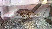 schildkröten Graptemys pseudogeographica gelbwangen