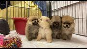 Pomeranian Welpen bereit für ihr