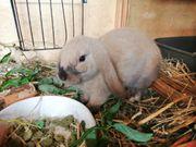 Kaninchen junger Bock
