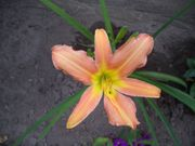 4 Fächer unserer Taglilie Pink