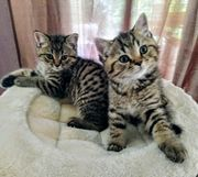 süße BKH kitten männlich suchen