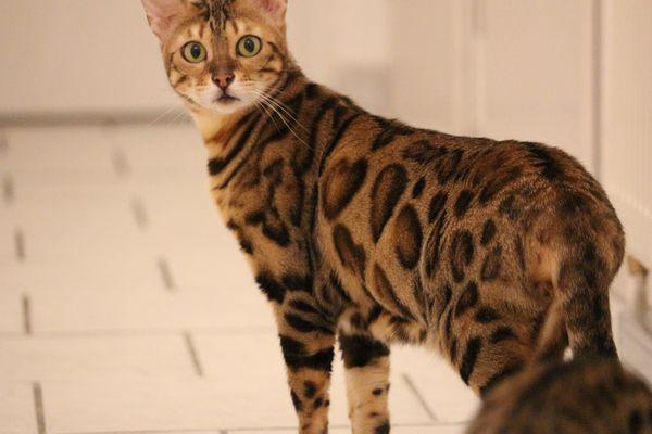 Reinrassige hübsche Bengal Katze mit Stammbaum