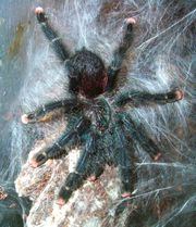 avicularia metallica spiderlinge