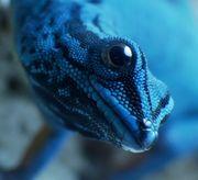 Lygodactylus williamsi 2 0 0