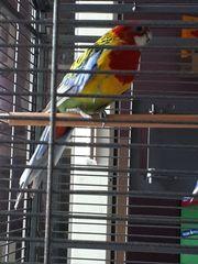 Prachtrosella Rosellasittich Papagei