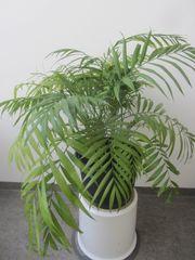 Zimmerpflanzen Kentiapalme Begonie Einblatt Bogenhanf