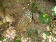 Landschildkröten griechisch THB