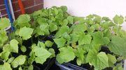 Gurkepflanzen
