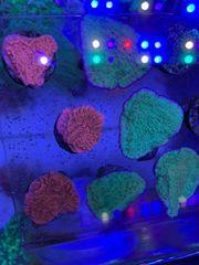 Montipora Platten rot und grün