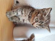 Bkh u Blh Kitten zu