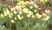 Narzissen Osterglocken gelb 12 Zwiebeln