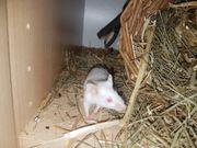 Farbmäuse Mäuse können auch einzeln