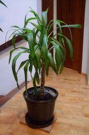 Yucca Palme 95 cm