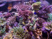 LPS und SPS Seewasser-Korallen