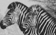 Vorlage für Ministeck Zebra1 100x60cm