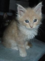 Maine Coon Kitten 16 12