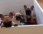 Süße Französische Bulldoggen in Liebevolle