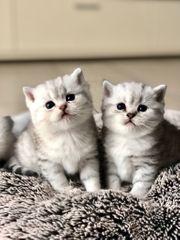 Schöne BKH Kitten