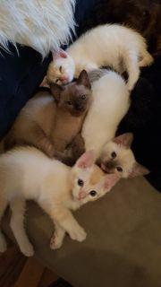 5 Tonkanese kitten ,