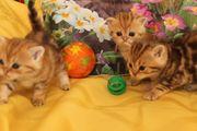 BKH-black-golden tabby classic Kitten mit