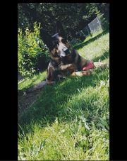 Deutscher Schäferhund Deckrüde kein Verkauf