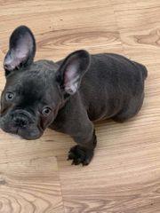 Französische bulldogge BLAU