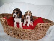 allerliebste Beagle Welpen