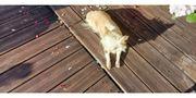 Chihuahua Dame