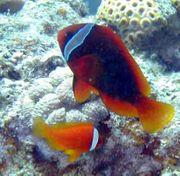 Anemonenfische Amphiprion frenatus Zuchtpaar zu