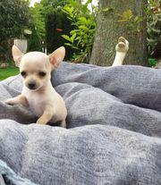 Mini Chihuahua Welpen