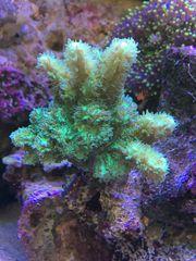 LPS neon Ultra Hydnophora Koralle