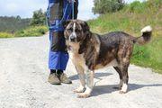 Lammfrommer Herdenschutzhund Tifon braucht einen