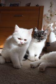 Exotisch kurzhaar Kitten