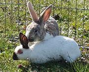 Besonderes Kaninchen Paar sucht Traumzuhause-geimpft
