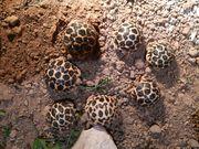 Sternschildkröten - Geochelone elegans