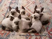 Reinrassige Siam Thai Kitten