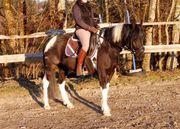 Ponys Fahr- und Freizeitpferde