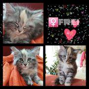 Main coon kitten Reinrassig