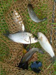 400 Karauschen Fische für den